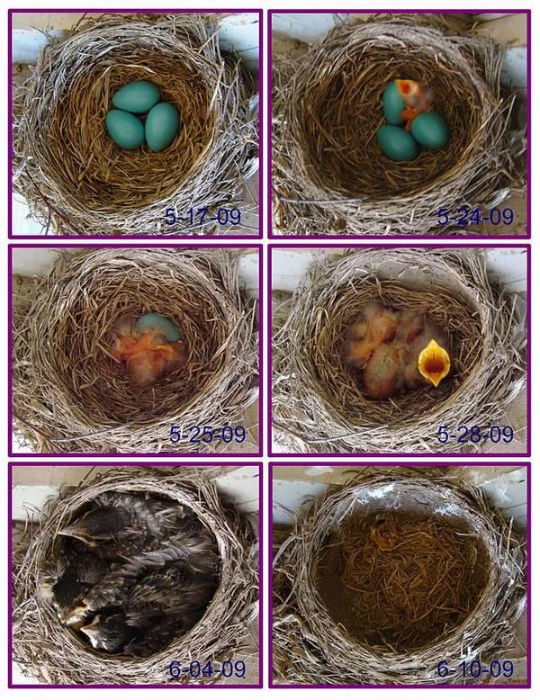 Жизнь странствующего дрозда от момента яйца до вылета птенцов из гнезда фото (лат. Turdus migratorius)