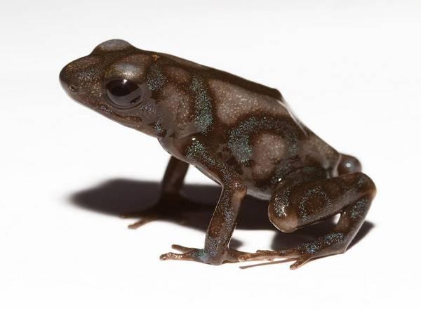 Красящий древолаз коричневого цвета фото (лат. Dendrobates auratus)