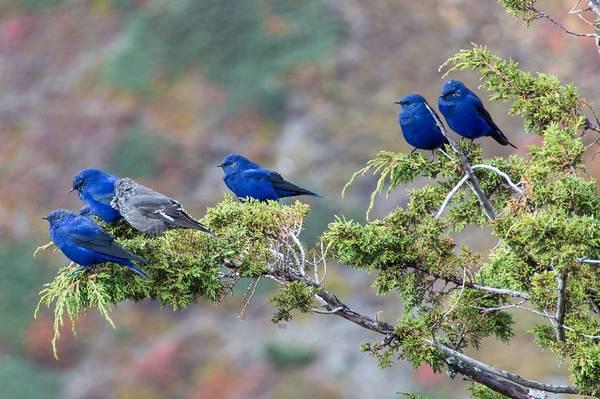 Лазоревые птицы фото (лат. Grandala coelicolor)