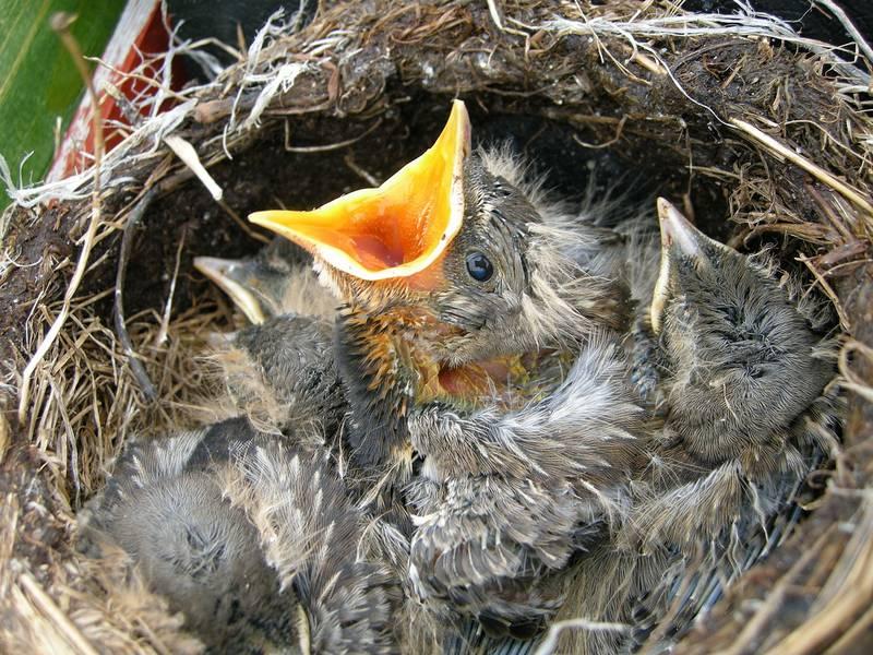 Птенцы дрозда рябинника фото (лат. Turdus pilaris)