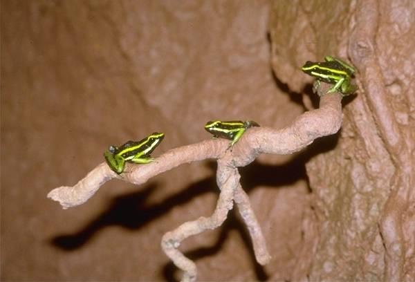 Трехполосые древолазы фото (лат. Ameerega trivittata)