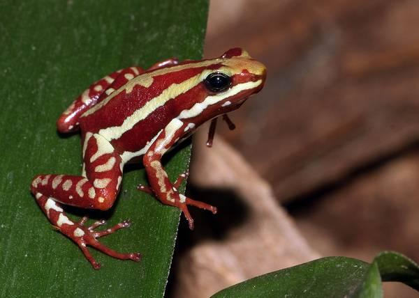 Трёхцветный (франтовый) древолаз фото (лат. Epipedobates tricolor)