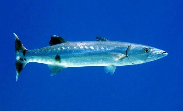 Большая барракуда (гигантская барракуда) фото (лат. Sphyraena barracuda)
