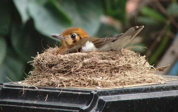 Гнездо оранжевоголового земляного дрозда фото (лат. Geokichla citrina)