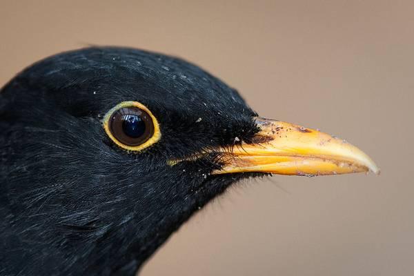 Голова черного дрозда фото (лат. Turdus merula)