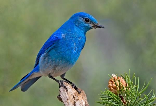 Голубая сиалия самец фото (лат. Sialia currucoides)
