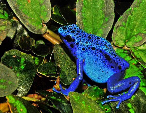 Голубой древолаз фото (лат. Dendrobates tinctorius «azureus»)
