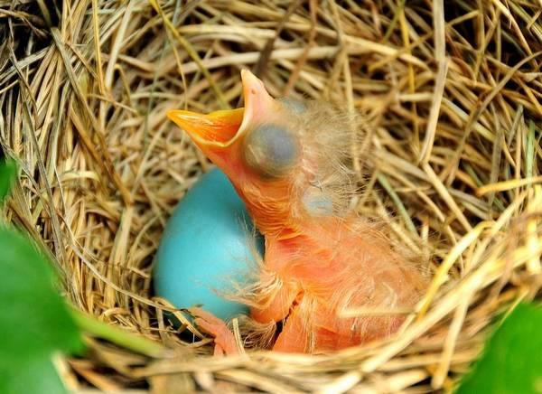 Новорожденный странствующий дрозд фото (лат. Turdus migratorius)