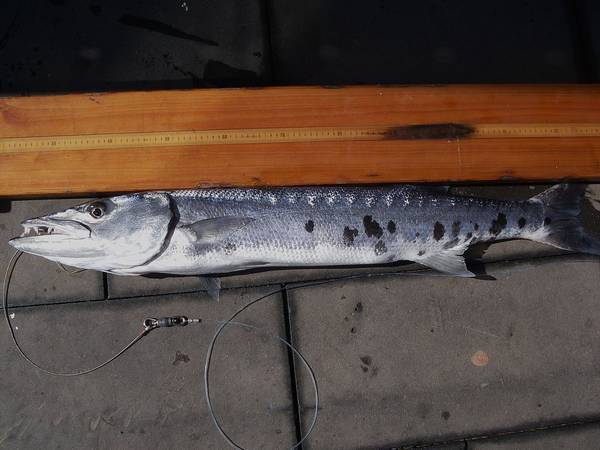 Пойманная большая барракуда фото (лат. Sphyraena barracuda)