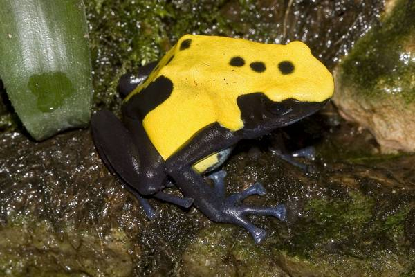 Пятнистый древолаз фото (Dendrobates tinctorius var. Citronella)