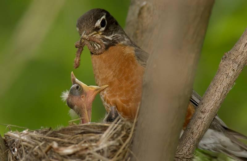 Странствующий дрозд кормит детеныша фото (лат. Turdus migratorius)