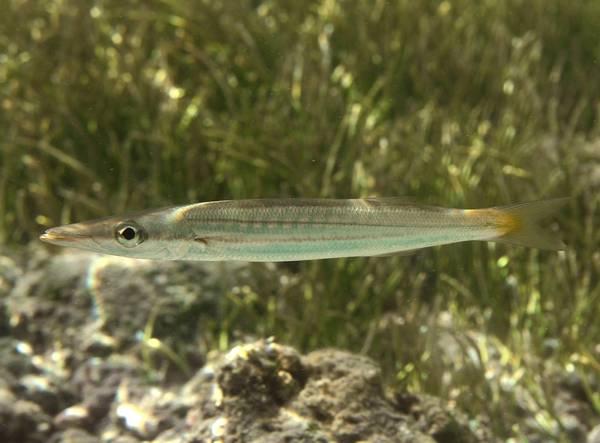 Тупорылая барракуда фото (лат. Sphyraena obtusata)