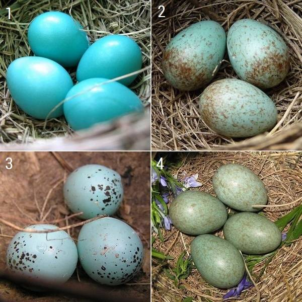 Яйца дроздов разного цвета фото