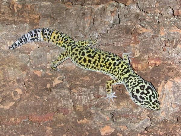 Афганский пятнистый леопардовый эублефар фото (лат. Eublepharis macularius afghanicus)