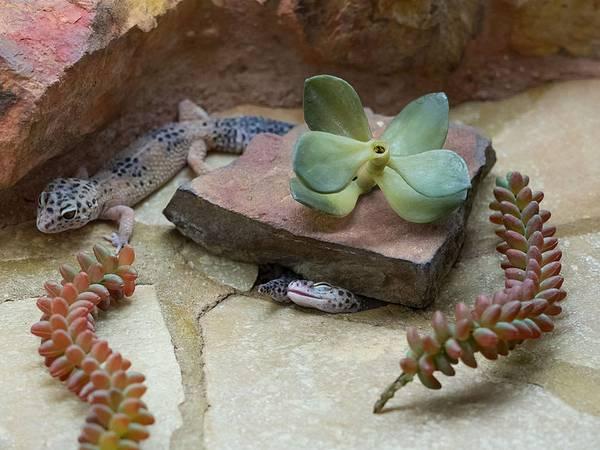 Леопардовый геккон в террариуме фото (лат.Eublepharis macularius)