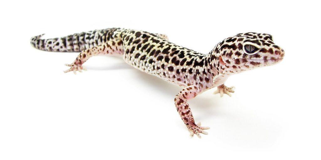Пятнистый леопардовый эублефар фото (лат.Eublepharis macularius)