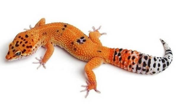 Пятнистый эублефар Tangerine фото