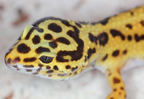 Глаза пятнистого леопардового эублефара фото (лат.Eublepharis macularius)
