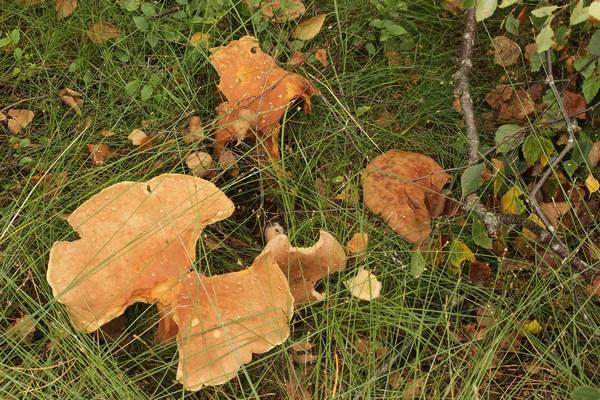 Где растут грибы млечники фото (лат. Lactarius helvus)