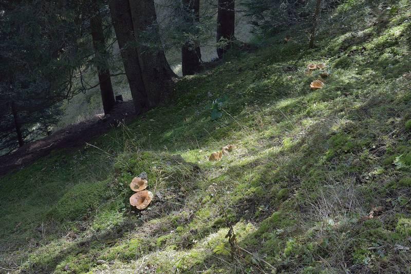 Грузди желтые в лесу фото (лат. Lactarius scrobiculatus)