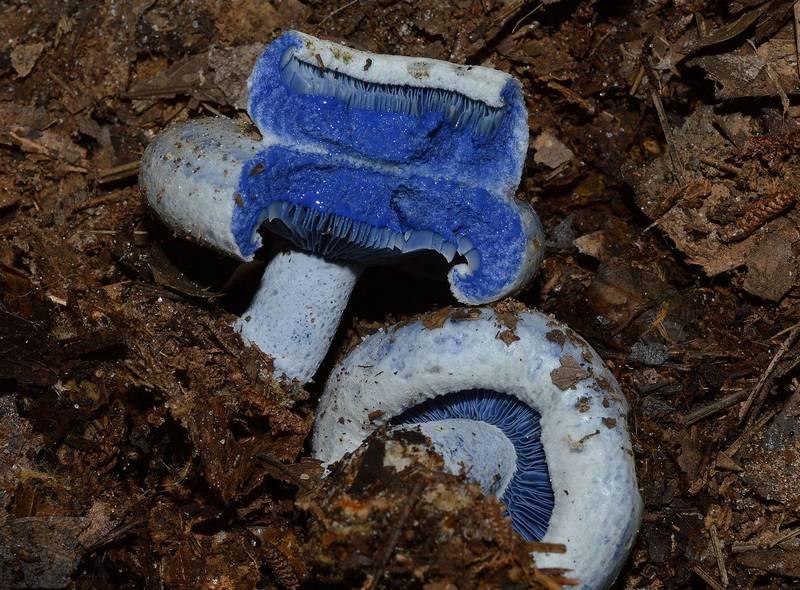 Млечный сок у голубого млечника фото (лат. Lactarius indigo)