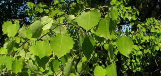Осина фото (лат. Populus tremula)
