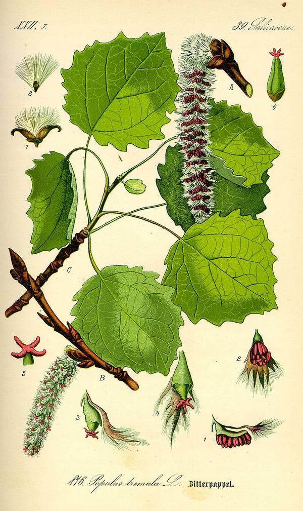 Ботаническая иллюстрация осины фото (лат. Populus tremula)