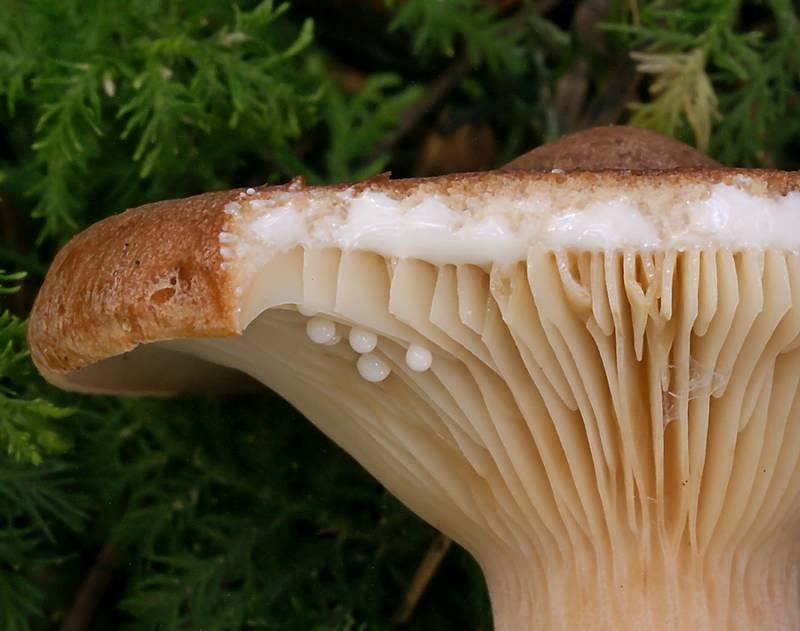 Выделение млечного сока у гриба горькушка (лат. Lactarius rufus)