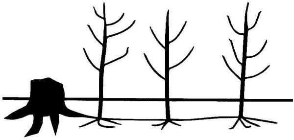 Корневая система осины фото (лат. Populus tremula)