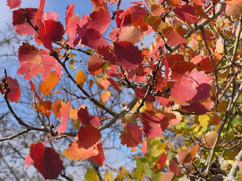 Красные и желтые листья осины фото (лат. Populus tremula)