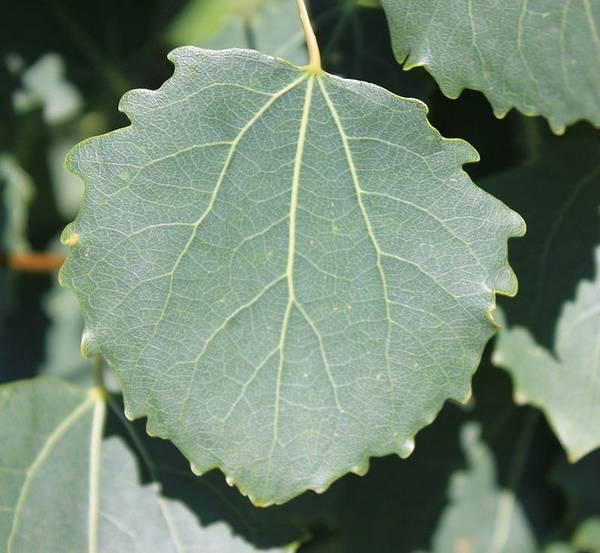 Лист осины пирамидальной формы фото (лат. Populus tremula Erecta)
