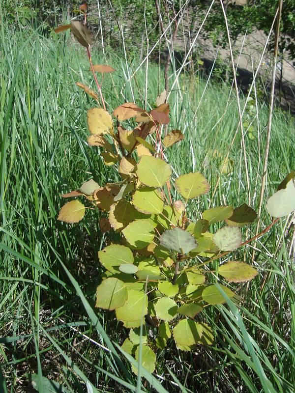 Молодая осина фото (лат. Populus tremula)