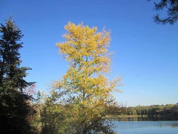 Осина с пожелтевшими листьями фото (лат. Populus tremula)