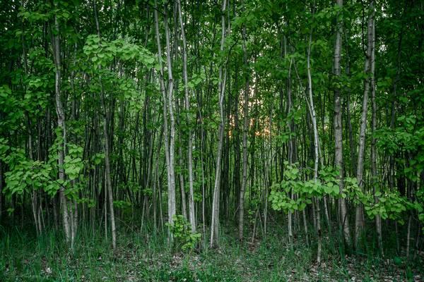 Осинник фото (лат. Populus tremula)