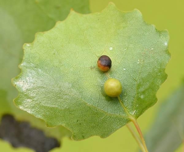 Осиновая галлица Harmandiola cavernosa на листе осины фото
