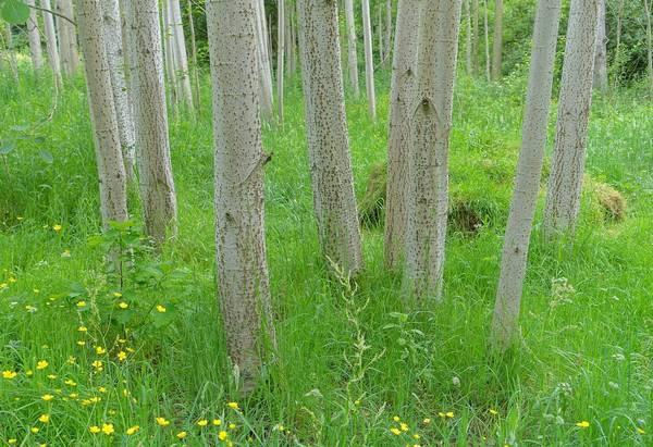 Осины в лесу фото (лат. Populus tremula)