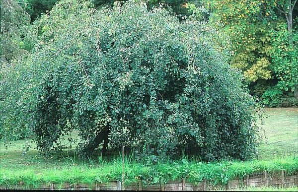 Плакучая форма осины фото (лат. Populus tremula Pendula)
