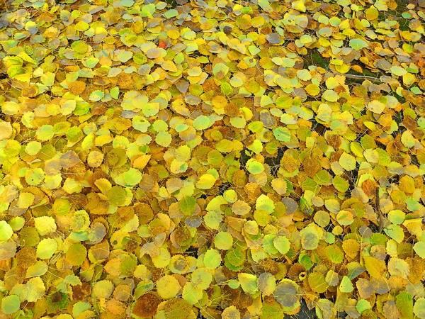 Пожелтевшие листья осины на земле фото (лат. Populus tremula)