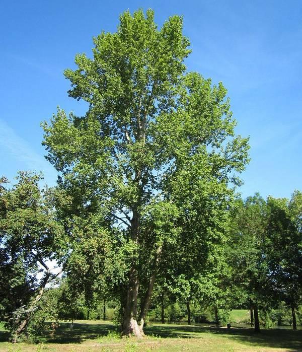 Сереющий (сизый) тополь ajnj (лат. Populus ×canescens)