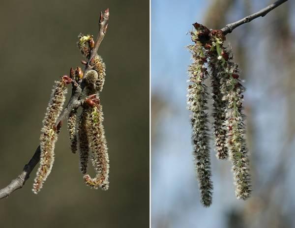 Цветы осины фото (лат. Populus tremula)