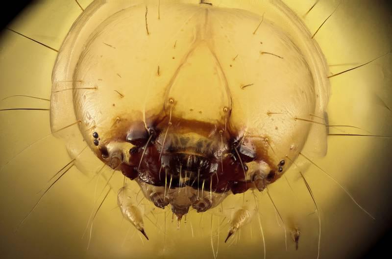 Голова гусеницы пчелиной огневки фото (лат. Galleria mellonella)