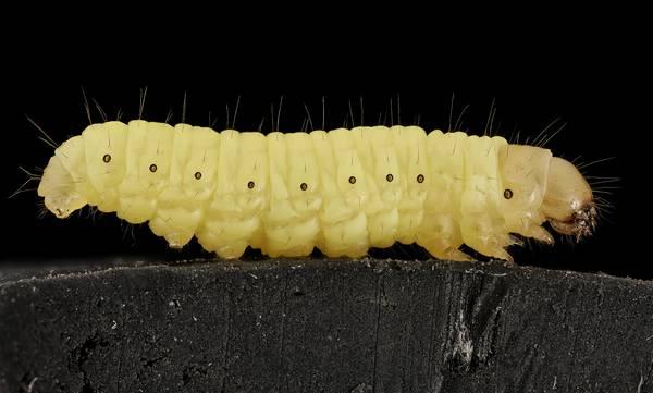 Гусеница большой восковой моли фото (лат. Galleria mellonella)