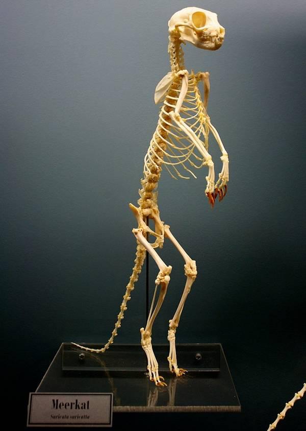 Скелет суриката фото (лат. Suricata suricatta)