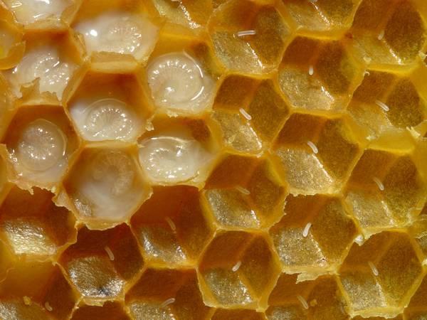 Соты медоносных пчел фото