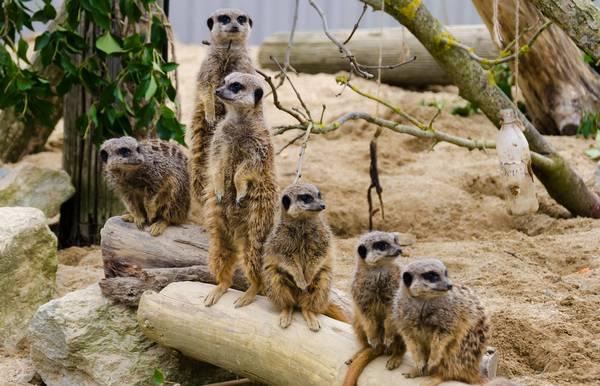 Сурикаты в зоопарке фото (лат. Suricata suricatta)