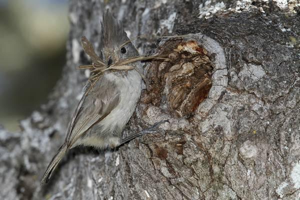 Гнездо пепельной синицы фото (лат. Baeolophus inornatus)
