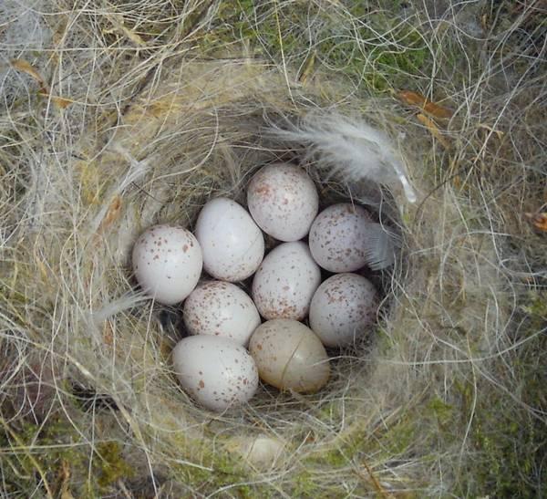 Лоток в гнезде обыкновенной лазоревки фото (лат. Cyanistes caeruleus)