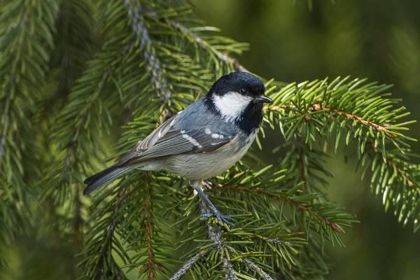 Московка (моховка, чёрная синица, синица-московка) птица фото (лат. Periparus ater)