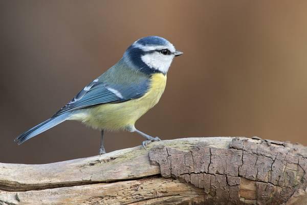 Обыкновенная лазоревка (лазоревка, синяя синица, зелёная лазоревка) птица фото (лат. Cyanistes caeruleus)