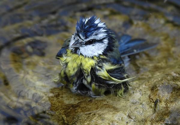 Обыкновенная лазоревка моется фото (лат. Cyanistes caeruleus)